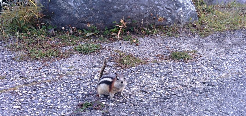 Moraine Lake, Streifenhörnchen